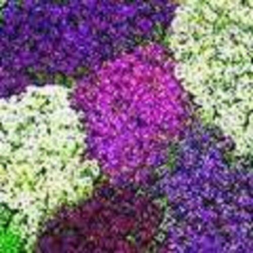 LILAC LACE SWEET FRAGRANT ALYSSUM FLOWER SEEDS PERENNIAL