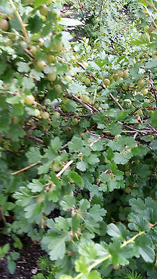 Stachelbeere gelb 30-40 cm