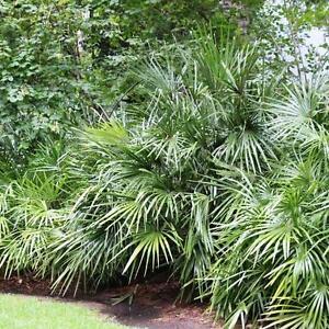 Rhapidophyllum-Hystrix-Winterhaertesten-Palmen-der-Welt-RH