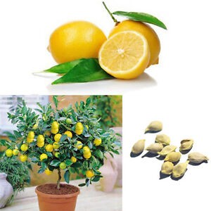10Pcs-Citron-Arbre-Indoor-Heirloom-Fruits-Graines-Accueil-Jardin-Rare