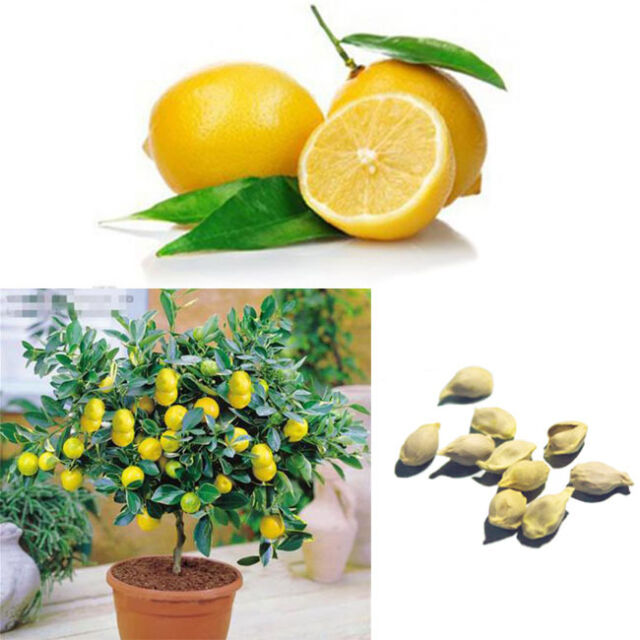 10Pcs Lemon Seeds Heirloom Tree Fruit Home Garden Organic Seeds Plant