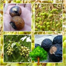 *UNCLE CHAN* 10 SEED INDIAN SOAPBERRY SOAP NUT TREE Sapindus Mukorossi MANY USEF