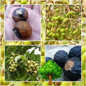 * Oncle Chan * 10 Graines Indian Soapberry Savon Nut Tree Sapindus Mukorossi-afficher Le Titre D'origine Soulager Le Rhumatisme