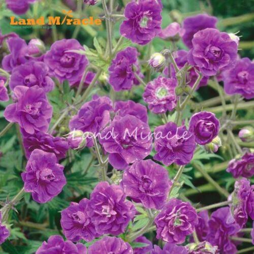 LAND MIRACLE Double Geranium Seeds 5 Seed Summer Skies Pelargonium Perennial Gar