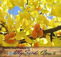 BULK Maidenhair Ginkgo biloba TREE SEEDS Great Bonsai Specimen ~FOOD & MEDICINAL