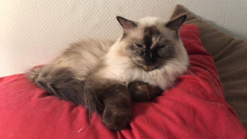 Ragdoll, hunkat, 5 år