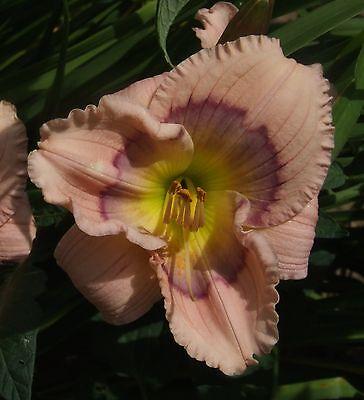 Daylily Plant Siloam Ury Winniford Henry-P DF Ivory Purple Cream Daylilies