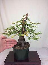 "Coastal Redwood Specimen Collected Shohin Bonsai Tree - HUGE 3"" TRUNK!"