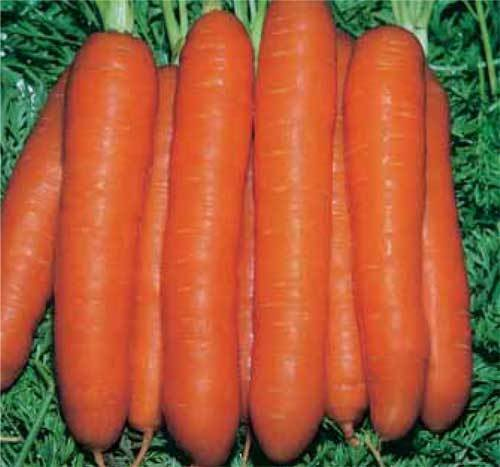 VEGETABLE  CARROT  TOUCHON  5 GRAM ~ 4000 FINEST SEEDS