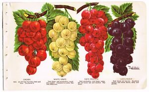 ANTIQUE-PRINT-1886-CHROMOLITHOGRAPH-AGRICULTURE-FRUIT-GOOSEBERRY-TYPES-COLORS