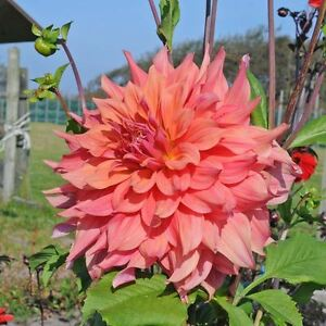 Image is loading 1-Dinner-Plate-Dahlia-ace-summer-sunset-Dinner- : dinner plate dahlia - pezcame.com
