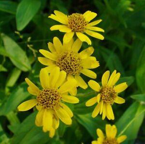 Garten-winterhart-frosthart-Tee-i-ARNIKA-i-Nutzpflanze-Heiltee-Samen-Saatgut