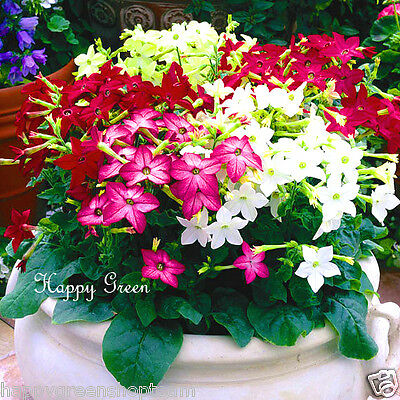 LARGE DOUBLE FLOWERS 4000 SEEDS Clarkia pulchella CLARKIA ARIANNE MIXED