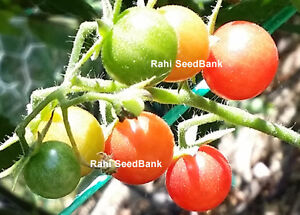Pink-Current-Tomato-An-interesting-Tomato-with-an-Unique-Pink-Color-10-Seeds
