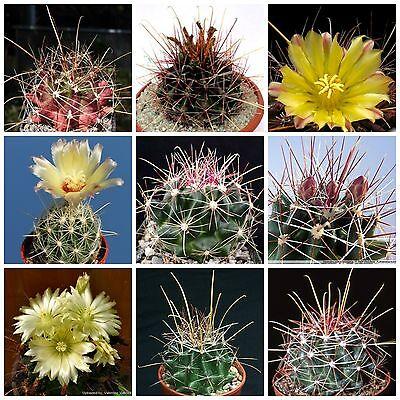 succulents seeds mix   C 100 seeds of  Neochilenia mix,seeds cacti mix