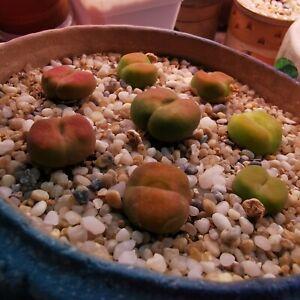 Bitterfontein 10 seeds Conophytum Pageae