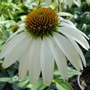 White Swan Echinacea Coneflower Flower Seeds Long Lasting Perennial 40