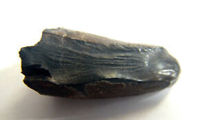 BARYONYX-ULTRA-RARE-FOSSIL-TOOTH-with-striations-scored-ATHERFIELD-UK-26mm