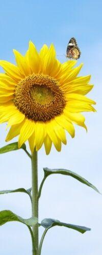 Sonnenblume Schmetterling schmetterlinge sonne Wallario Poster in 50 x 125 cm