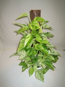 Image Is Loading Marble Queen Devil Ivy Pothos Plant 1 Cutting