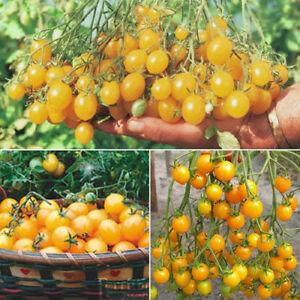 50pcs-Seeds-Cherry-Tomato-Golden-Russian-Heirloom-Garden-Vegetable-Fruit-Plant