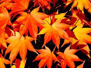 Acer Palmatum Skeeters Broom Japanese Maple 3lt Pot Bushy Garden