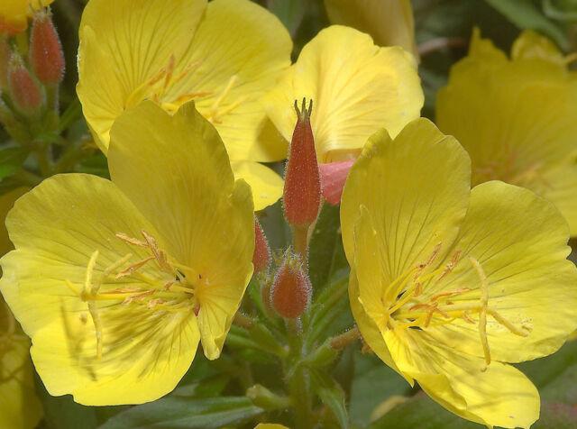 "100+ HEIRLOOM FLOWER SEED - EVENING PRIMROSE ""YELLOW"" NON-GMO PERENNIAL FRAGRANT"