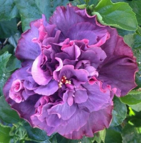 **BAYOU ROSE** Rooted Tropical Hibiscus Plant**Ships Bare Root***