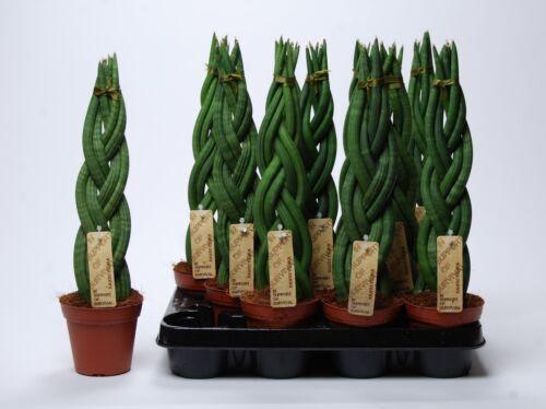 """Sansevieria cylindrica /""""Twister/"""" 40 cm Bogenhanf Schwiegermutterzunge //"""