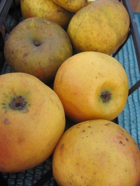 Malus Goldrenette von Blenheim - Herbstapfel Goldrenette von Blenheim