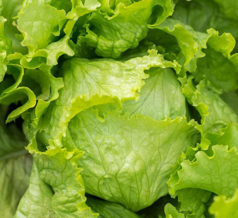 Iceberg Lettuce Seeds USA Garden Vegetable Crisphead Salad Green Leaf Seed 2021