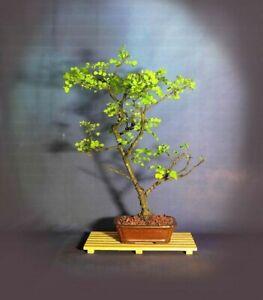 Campeche Bonsai Tree Puerto Rico Native Collection From Samurai Gardens Ebay
