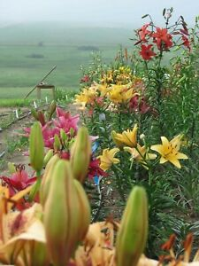 Canadian-Lily-Flower-Seeds-Asiatic-Lilium-Assorted-Colors-Garden-30-seeds