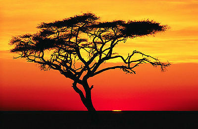 Framed Print - African Israeli Babool Tree at Sunset (Picture Serengeti Plain)