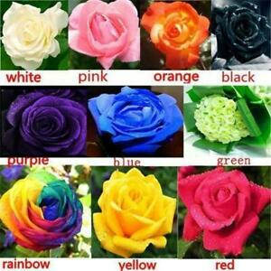 100-Rose-Flower-Seeds-Mixed-Multicolored-Decorative-Rare-Plants-in-Garden-Bonsai