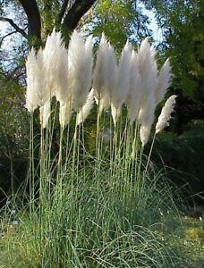 winterharte-frostharte-Garten-Pflanze-Samen-Saatgut-Ziergras-i-PAMPAS-GRAS-i
