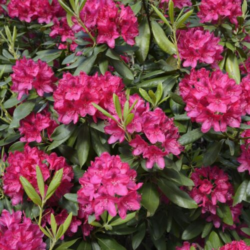 Rhododendron in Sorten im Topf//Container