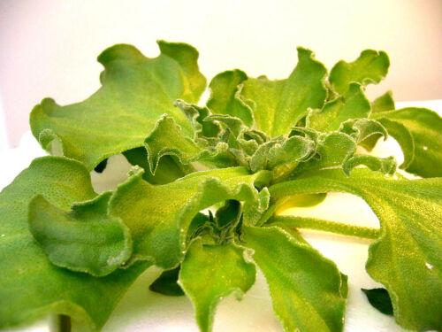 550//5500 Seeds Iceplant Mesembryanthemum Crystallinum Herb Ornamental