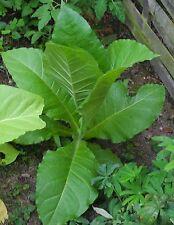 Burley Júpiter tabaco semillas tabaco para fumar cultivo del tabaco Cigarrillos silbatos semillas de tabaco