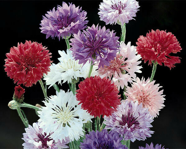 Black Cornflower Seeds 50ct Black Bachelor Button Seeds Heirloom Flower Seeds