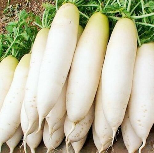 80 Korea Icicle Radish Seeds Chinese White Turnip Luo Bo Daikon 朝鲜中国白萝卜