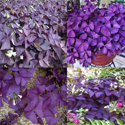 BT/_ 10 Pcs Shamrock Oxalis Triangularis Bulbs Easy to Plant Leaf Flower Seeds Fi