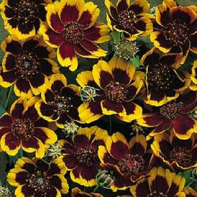 30 COSMIDIUM BRUNETTE Burridgeanum Greenthread Flower Seeds + Gift & Comb S/H