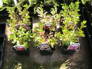 DWARF-EVERGREEN-AZALEA-COLLECTION-6-PLANTS