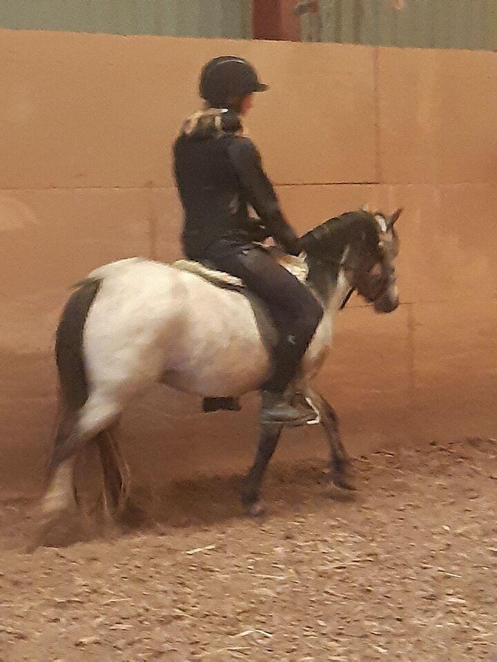 Welsh pony og Cob, hoppe, 6 år