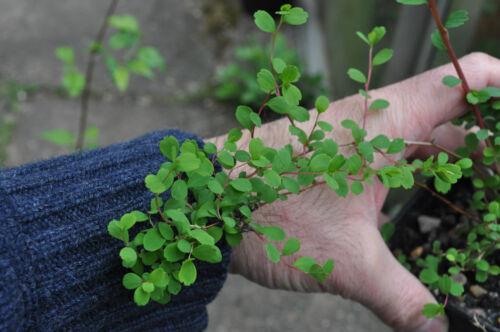 Spiraea lasiocarpa rarely-offered hardy decorative flowering shrub