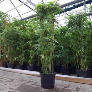 zimmerbambus bambus ca 120 140 cm variegte multiplex wintergarten wohnung ebay. Black Bedroom Furniture Sets. Home Design Ideas