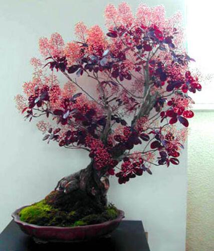 30 semi bonsai ALBERO di fumo Bush-Rhus Cotinus