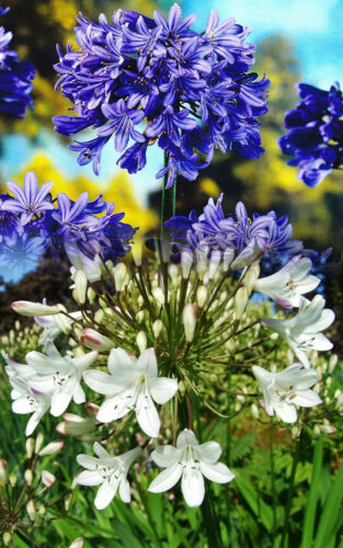 2 MIXED AGAPANTHUS AFRICANUS BARE ROOT PERENNIALS LILY OF THE NILE PLANTS