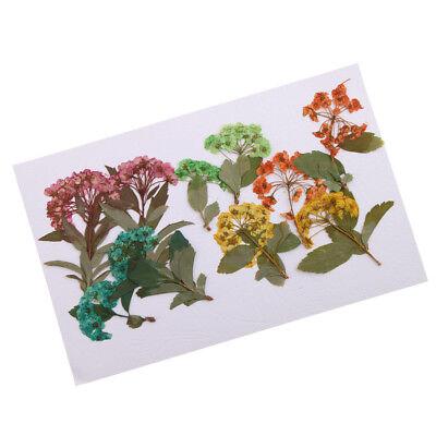 10pcs Beautiful Pressed Dried Adiantum Flowers for DIY Scrapbooking Crafts